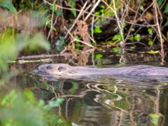 A report shows the population of beavers on the River Tay has increased since 2018 (Ben Birchall/PA)