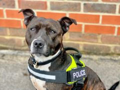 Five-year-old Roxy, an unwanted Staffie rescued by RSPCA officers after being abandoned in 2017 and which has now become the only Staffie working as an explosives search dog in the UK helping to protect the royal family (Thames Valley Police/PA)