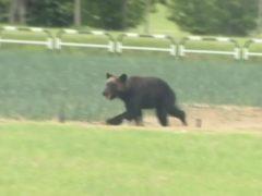 The bear on the loose in Sapporo (NTV via AP)