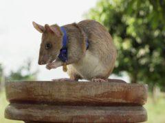 Cambodian landmine detection rat, Magawa, wearing his PDSA Gold Medal (PDSA/AP)