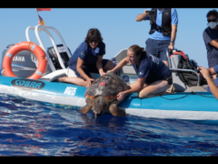 Thunderbird the turle being released into the ocean after becoming trapped in fishing gear (Save the Med/PA)