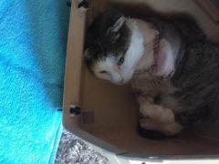 Tigger's leg was so badly injured it had to be amputated (Scottish SPCA/PA)