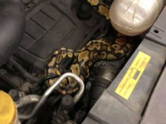 A mechanic found a python under a car bonnet during an MOT test in Wymondham, Norfolk (CSN Autos/ PA)