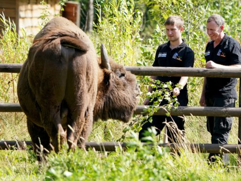 Tom Gibbs (left) and Donovan Wright, the UK's first-ever bison rangers, get to know a bison (Gareth Fuller/PA)