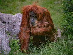 猩猩(切斯特动物园)
