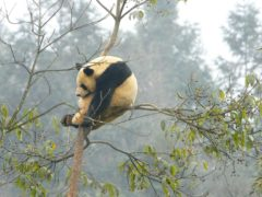 A male giant panda sleeps high in a tree in his enclosure at the Bifengxia Panda Centre near the city of Ya'an in Sichuan Province, China (Chris Ison/PA)