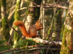 Red squirrels can use natural strongholds to shelter from the threat of greys (National Trust for Scotland/PA)
