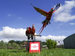 Scarlet macaws during the annual weigh-in at the Bedfordshire attraction (Steve Parsons/PA)
