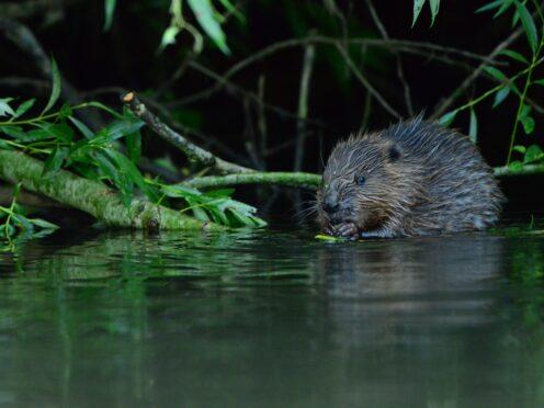 A feeding yearling beaver on the Avon catchment (Bevis Watts/Avon Wildlife Trust/PA)