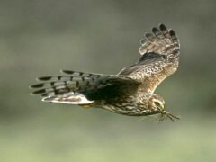 The licences allow gamekeepers legally cull some birds (RSPB/PA)