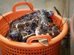 Researchers solve the mystery of ageing lobsters (Danny Lawson/PA)