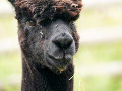 Geronimo the alpaca (PA)