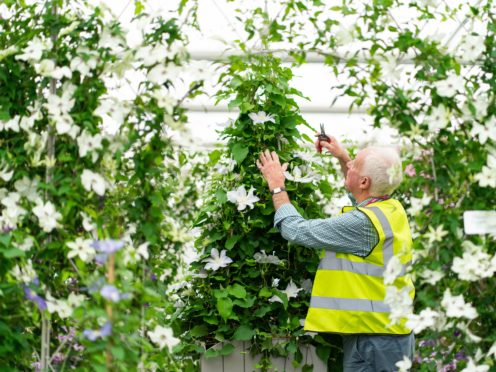 A gardener makes adjustments to a display of clematis in the Grand Pavilion ahead of the opening of the Chelsea Flower Show (Dominic Lipinski/PA)