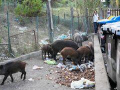 Rubbish bins have been a magnet for the wild boar (Gregorio Borgia/AP)