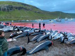 The carcasses of dead white-sided dolphins on the island of Eysturoy (Sea Shepherd/AP)