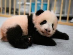 (Tokyo Zoological Park Society via AP)