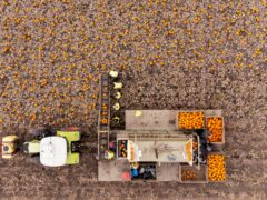 Workers harvest a field of pumpkins at Oakley Farms near Wisbech in Cambridgeshire, which supplies British supermarkets, including Tesco (Joe Giddens/PA)