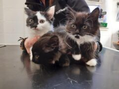 The kittens are thought to be around 12 weeks old (Scottish SPCA/PA)