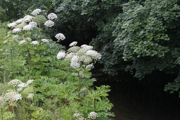 Giant hogweed along the banks of the Dighty Burn in previous years.