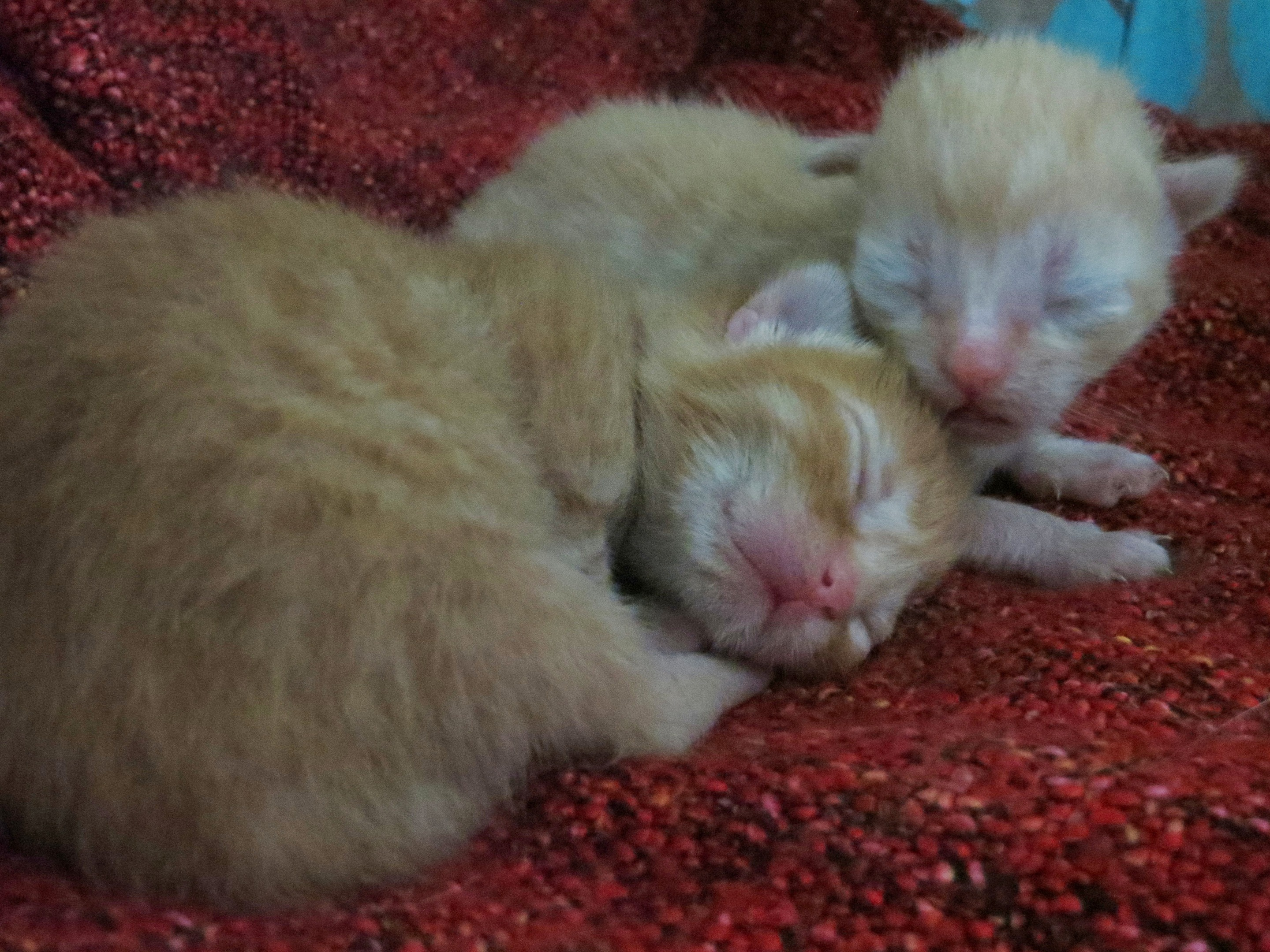 The two surviving kittens. Pic by SSPCA