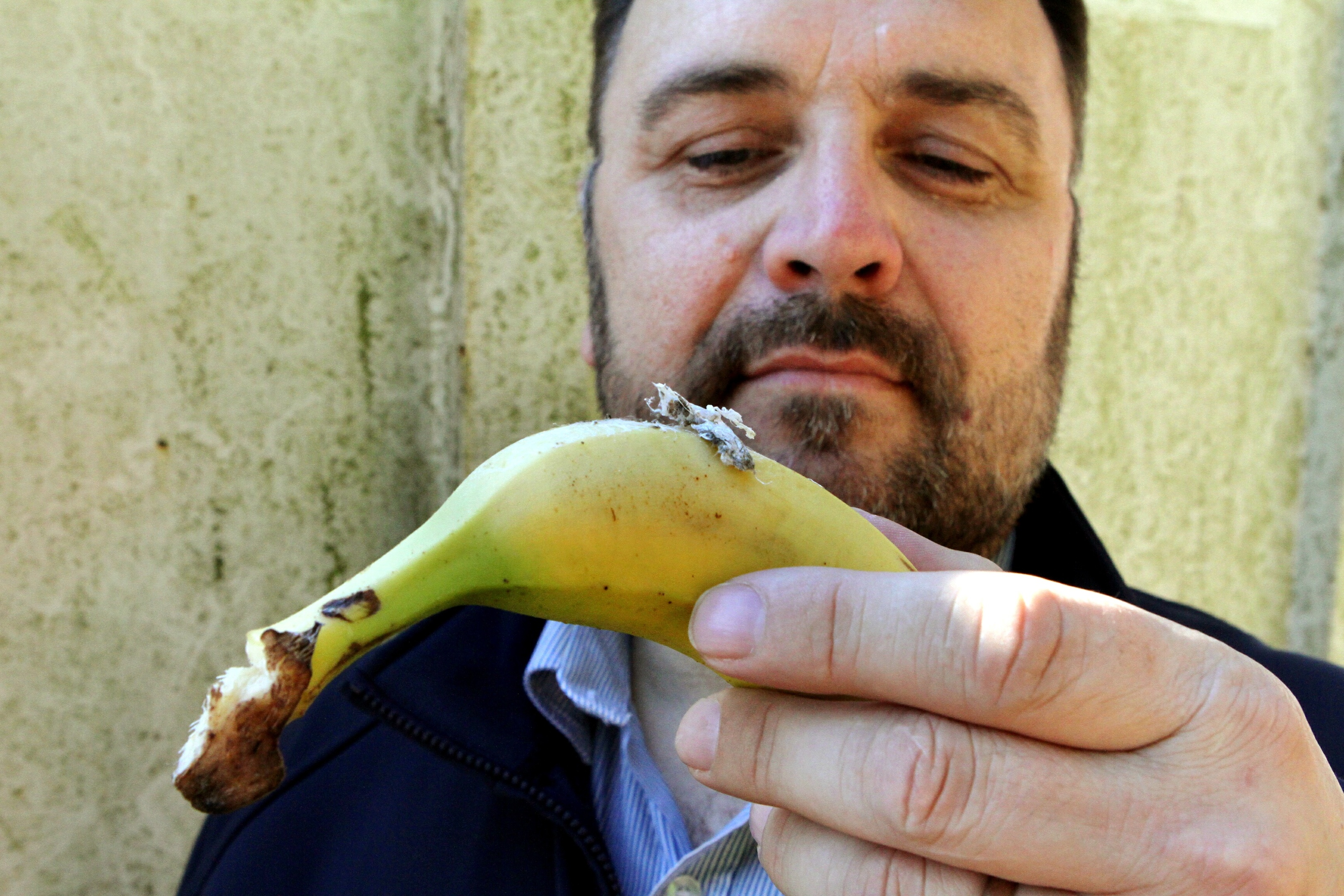 Bradly Yule of Camperdown Wildlife Centre examines the banana found with the spider eggs.