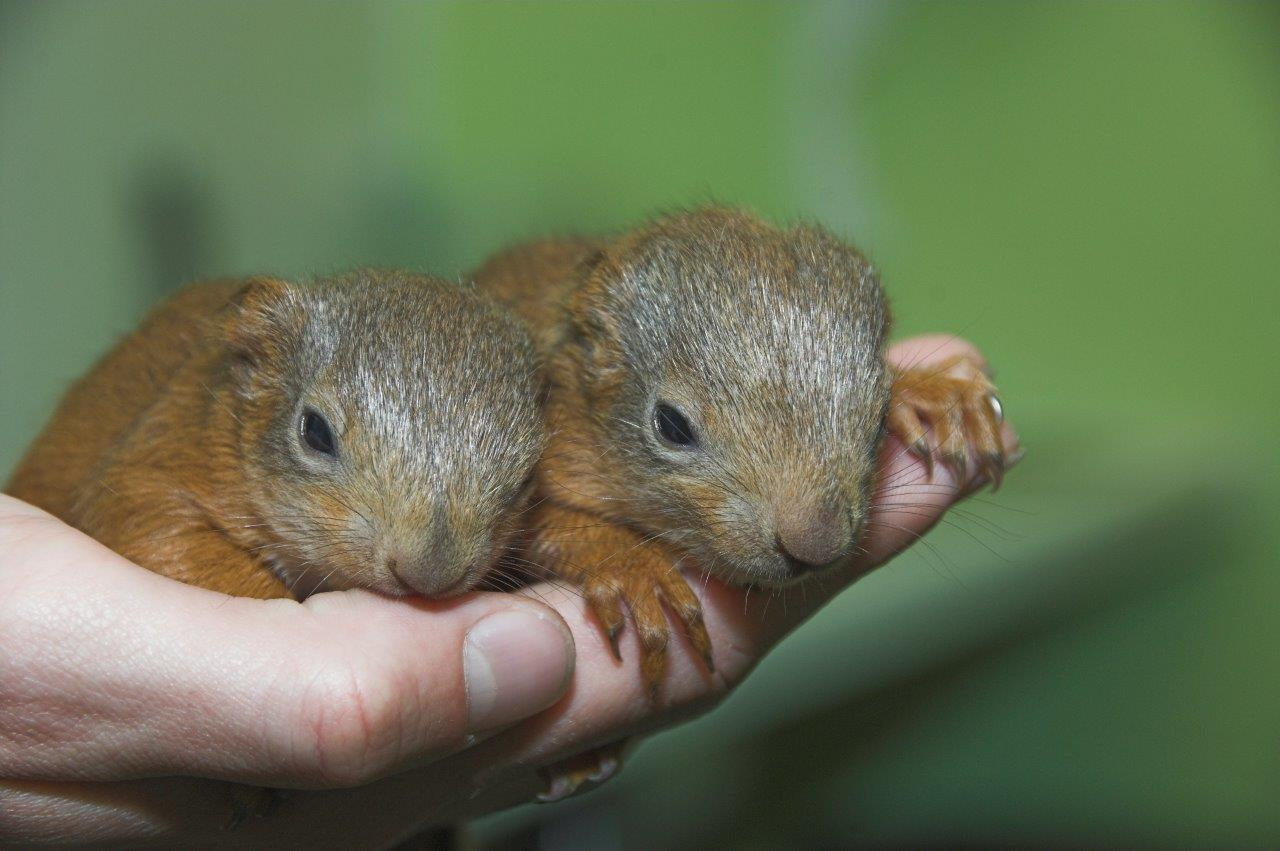 The squirrels, recently named Red and Ruby, are being cared for by the SSPCA.