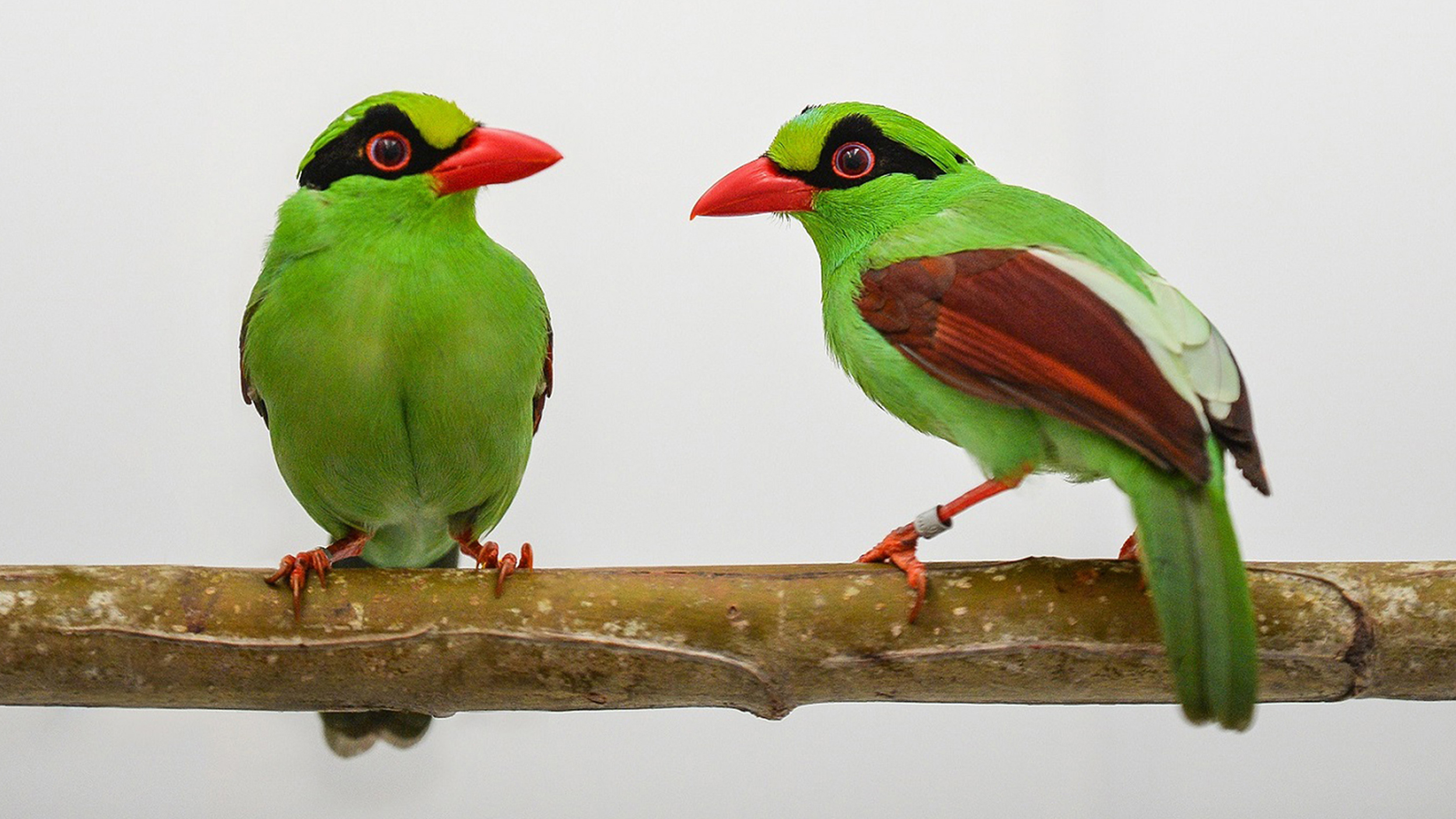 The Javan green magpie chicks were bred in what its experts said was a UK first.