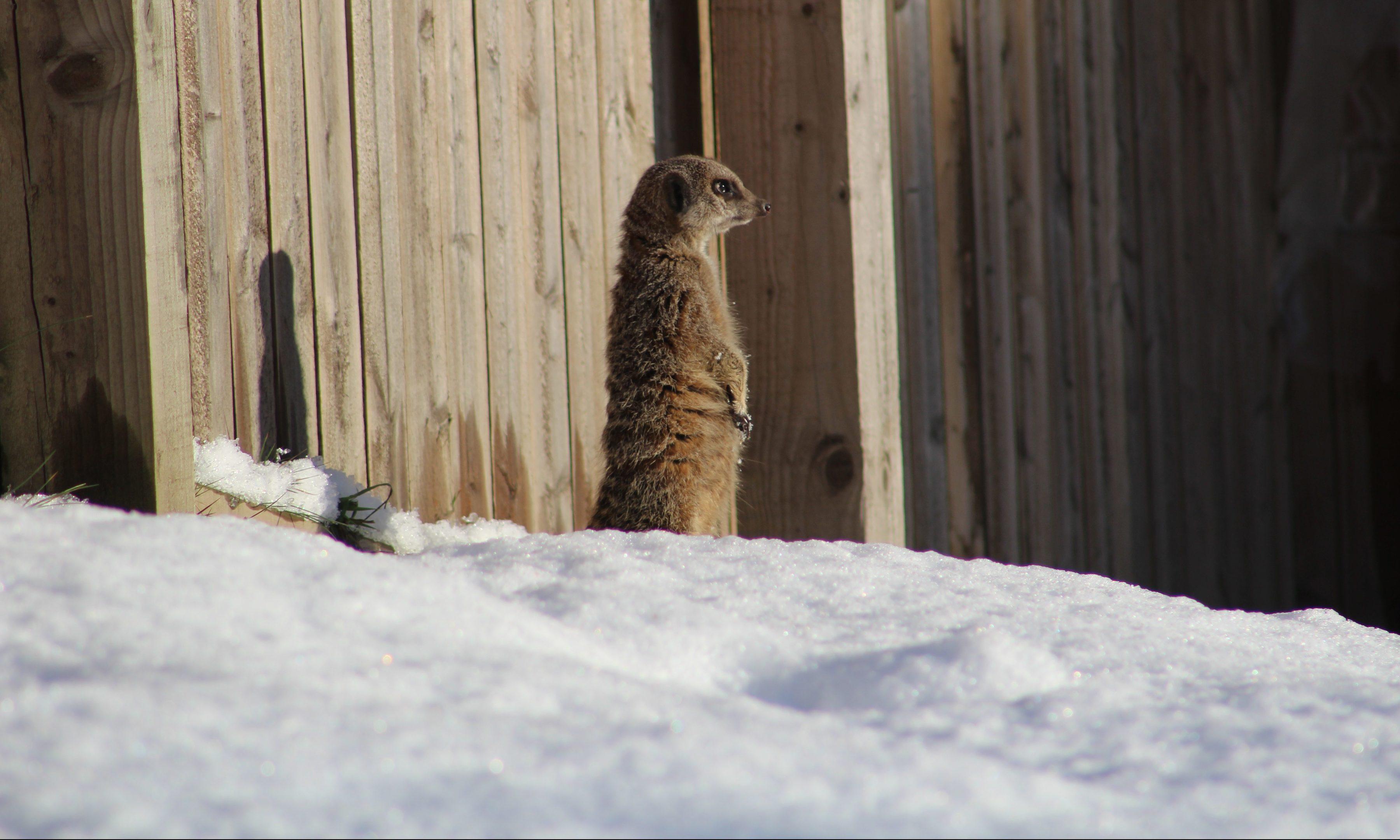 A meerkat enjoying snow at Camperdown.