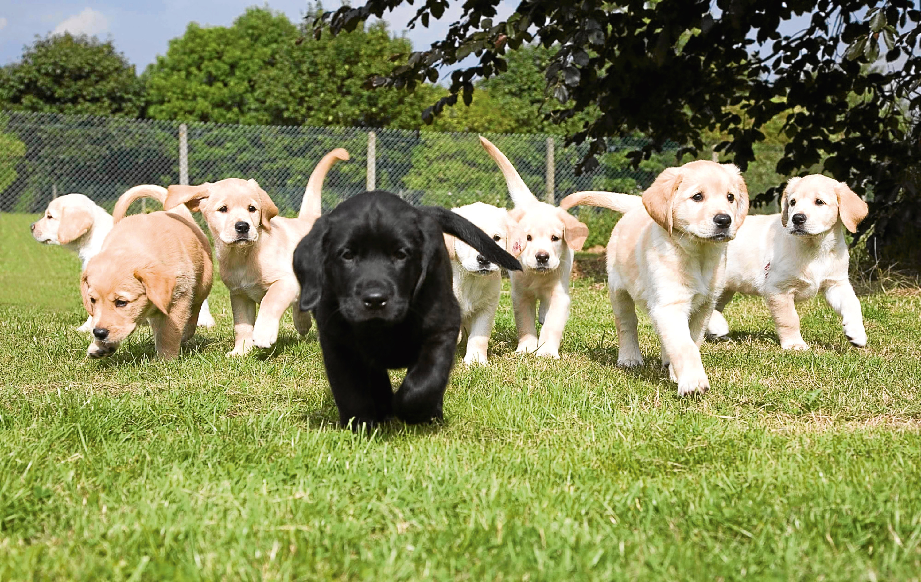 The charity Guide Dogs has launched an appeal to find volunteers in the Dundee area who can give a temporary home to a guide dog puppy or guide dog in training.