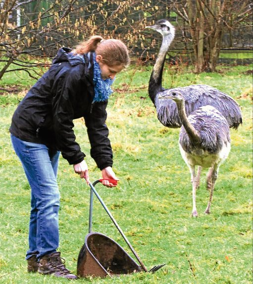 """Evening Telegraph News-Hannah as a keeper for a day at Camperdown Wildlife centre ,picture shows; hannah cleaning up the """"Rhea"""",s enclosure ,sunday 26th february."""