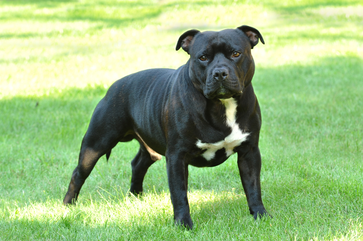 Staffordshire terrier-type dog. (library picture)