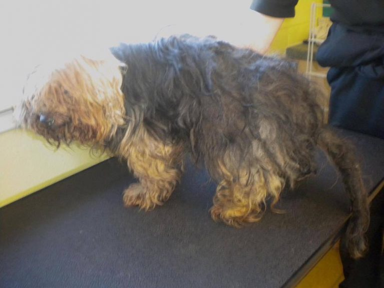 The Yorkie before he was cared for at Brown Street Kennels.