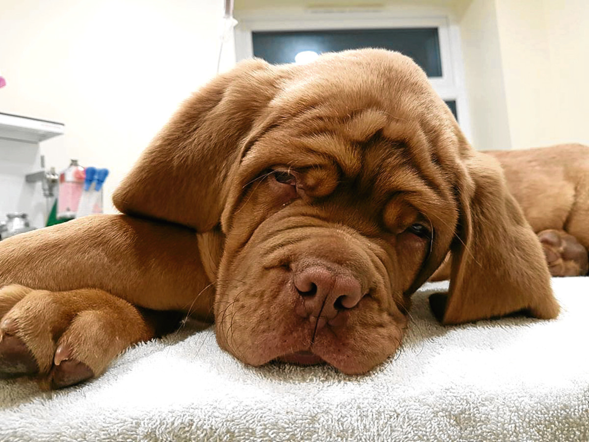 Thor, an 11-week-old Dogue de Bordeaux, had to have emergency surgery to remove 109 stones he had eaten.