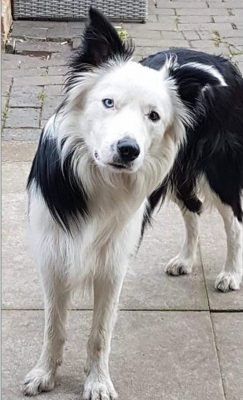 Blake, the border collie sheepdog (Newark and District Council/PA)