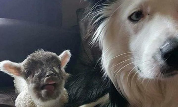 Blake the sheepdog alongside orphaned lamb Bella photo: (Newark and District Council/PA)