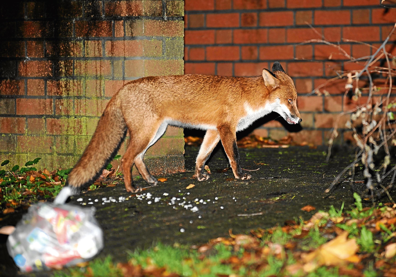 An urban fox scavenging