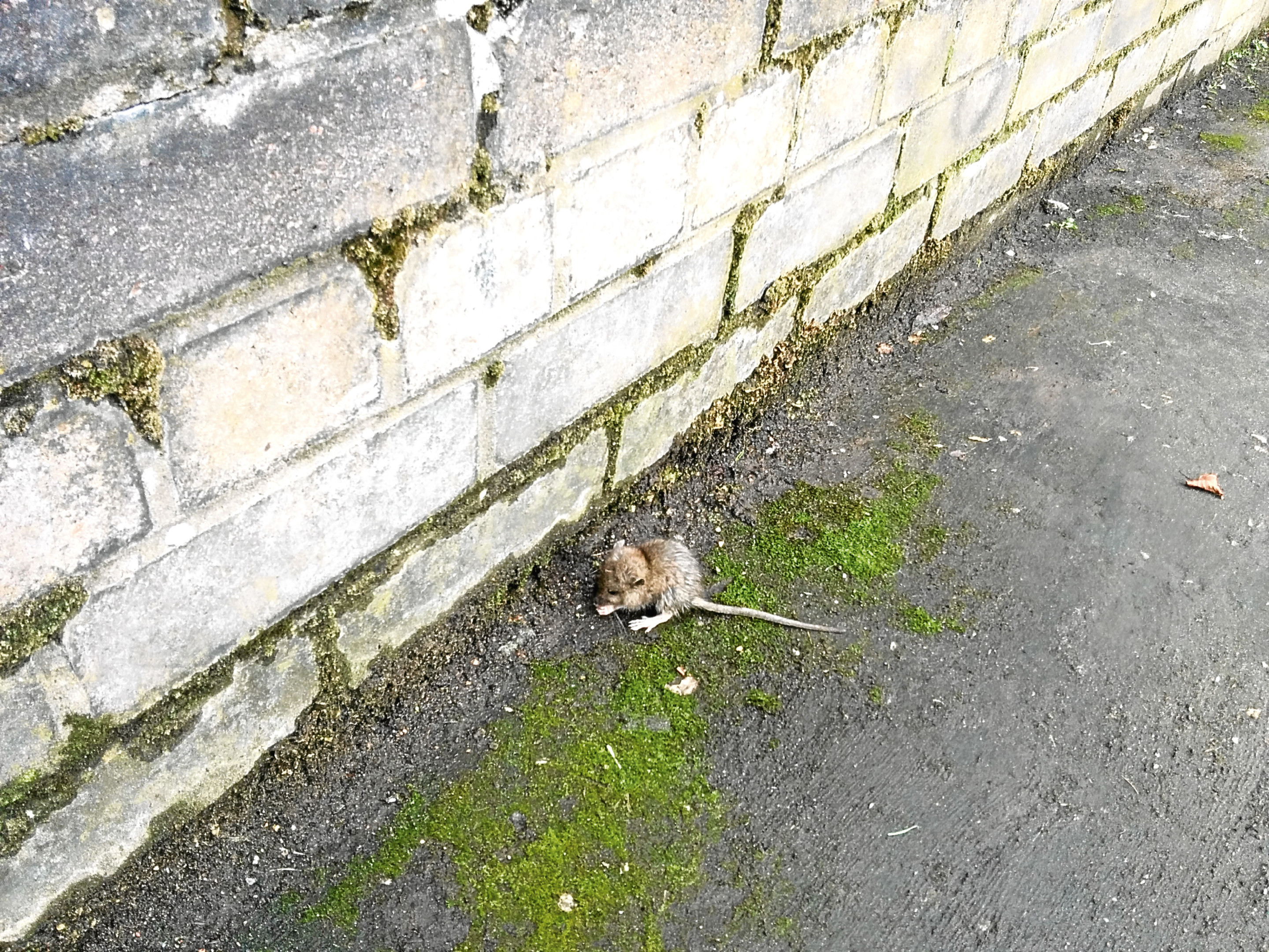 A rat pictured on St Catherine's Road, Perth.