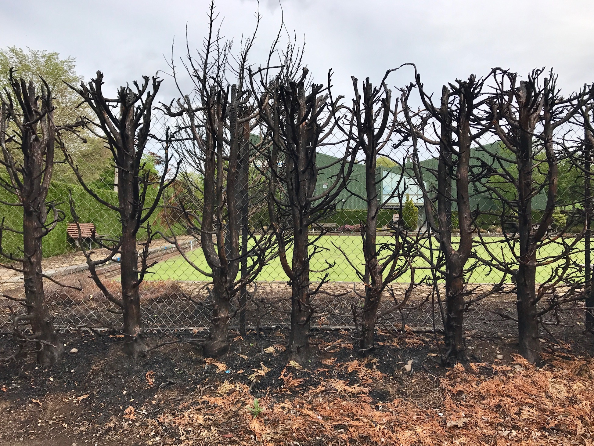One of the hedges previously targeted by fireraisers.