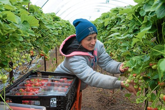 """Angus Soft Fruits has received a """"fantastic"""" number of people coming forward to pick fruit"""