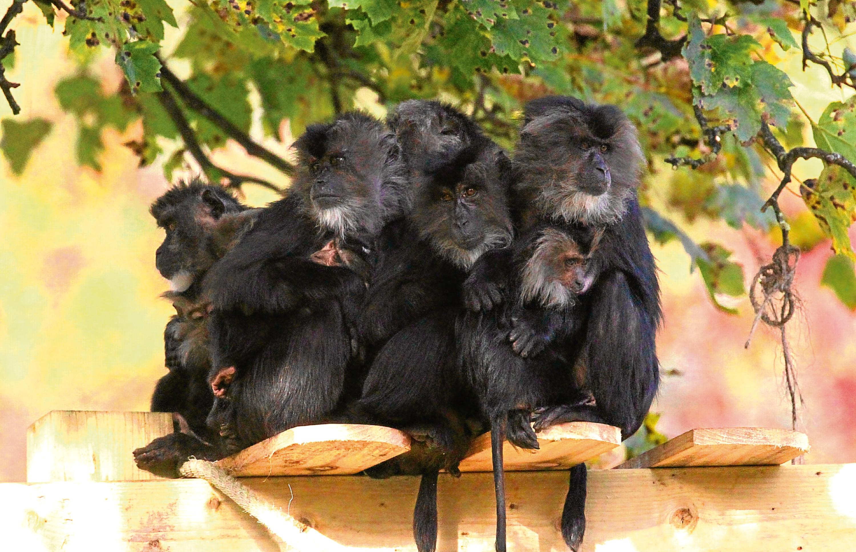 Macaque monkeys at Camperdown wildlife centre
