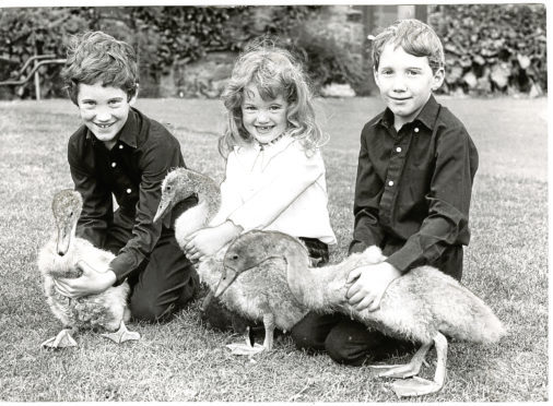 Orphan cynets pictured with visitors to Camperdown Wildlife Centre.  L to R - Andrew (aged 8), Kirsty (aged 4) and Alasdair Inglis (aged 6), from Kinross.  Photo taken 3/8/1984. Featured in 4/8/1984.  H262 1984-08-03 Orphan cygnets at Camperdown Wildlife Centre (C)DCT