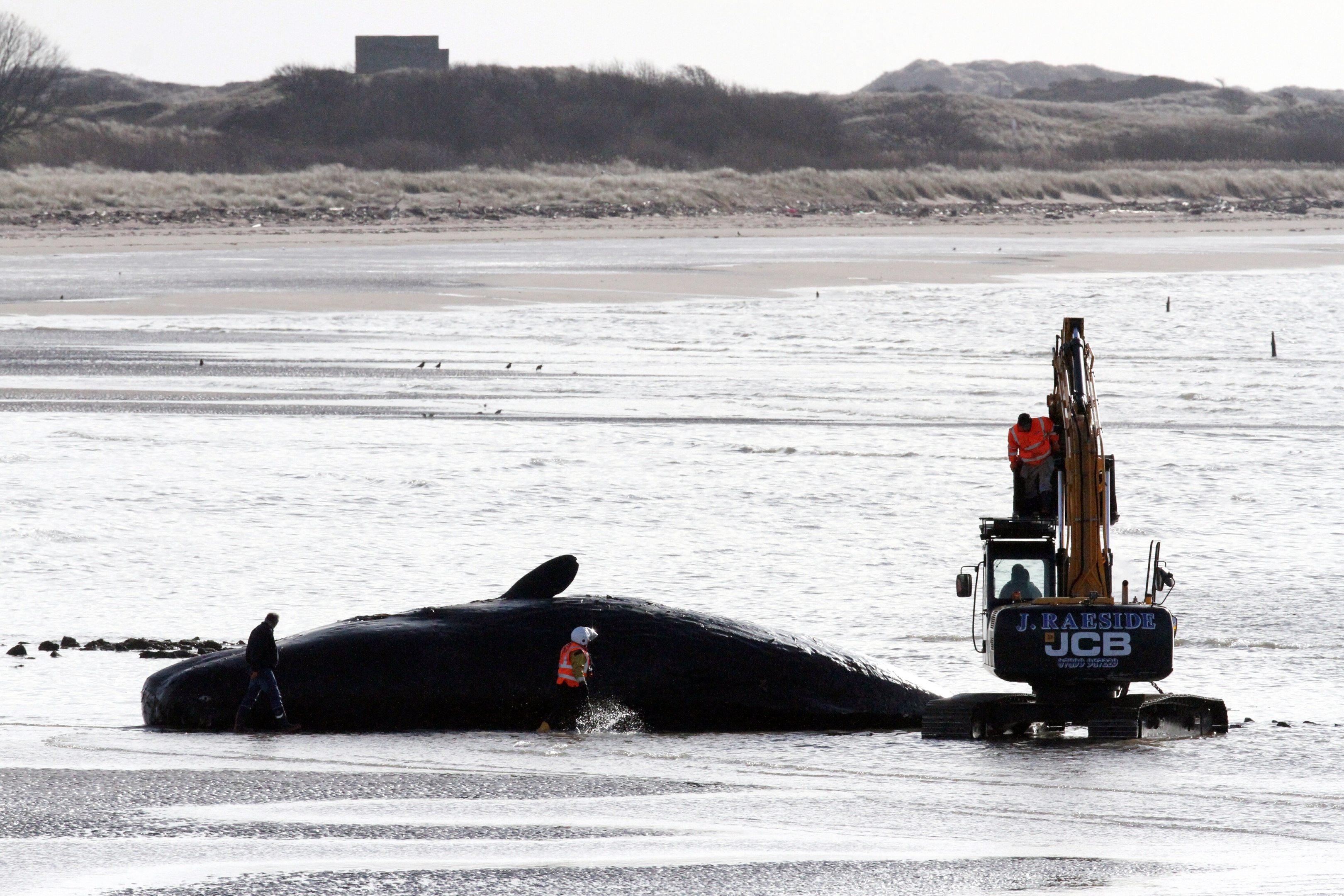 A digger works away beside the carcass of the dead sperm whale