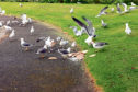 Gulls have been known to swoop on passers by and snatch food from people's hands.