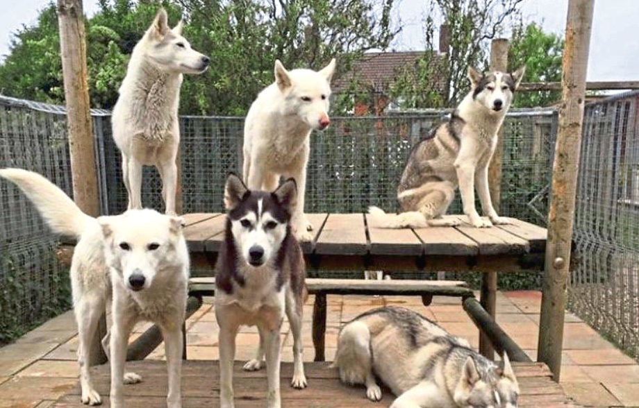 Picture shows some of the huskies.