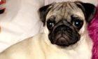 Pixie the Pug