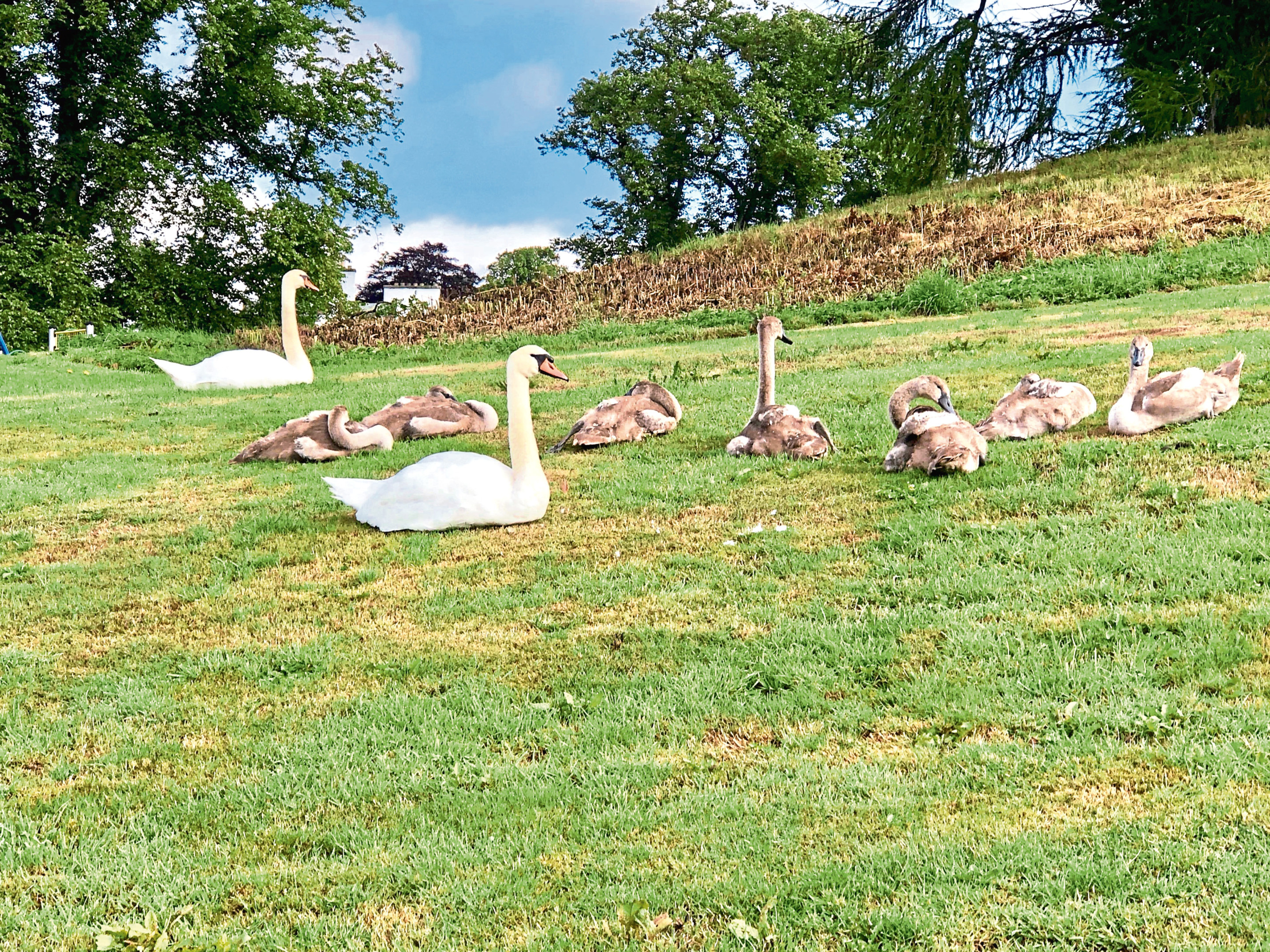 The pair of mute swans and their seven cygnets have disappeared from Ballumbie Ponds.