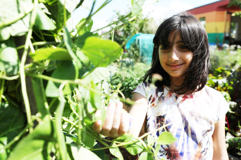 Tala Abdullah, 9 picking pea pods from the plants.