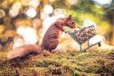 Photographer Craig Doogan spent three weeks trying to capture this perfect moment of a red squirrel pushing a miniature trolley full of nuts in Templeton Woods, Dundee