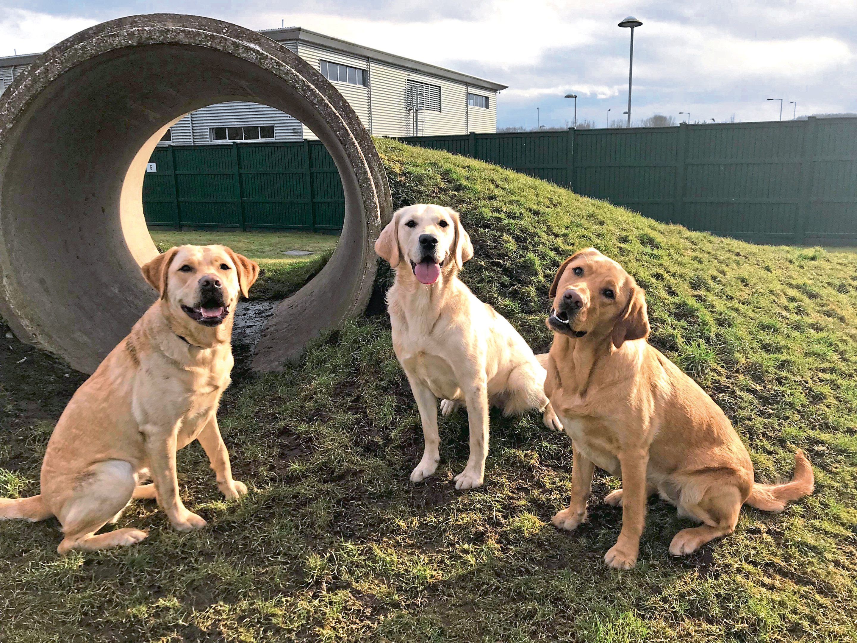 Three of the trainee guide dogs