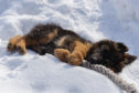 A German Shepherd puppy (stock image)